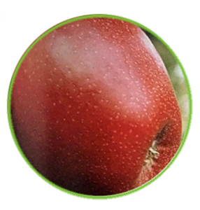 manzana early red