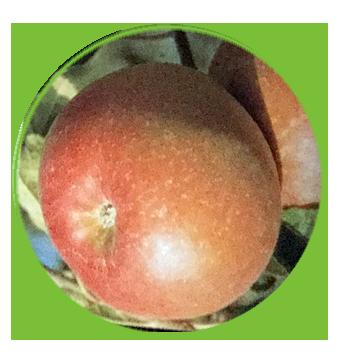 manzana fuji chofu 2